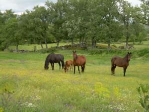 caballos-pastando_54547